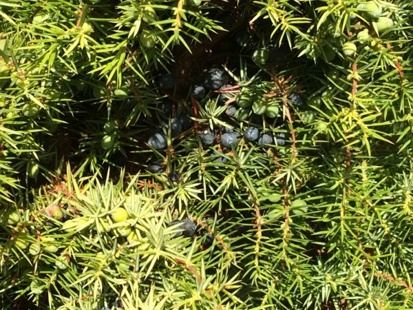 Annual Juniper Harvest